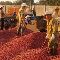 Các giống cà phê ngon nhất hiện nay và giá trị kinh tế của chúng